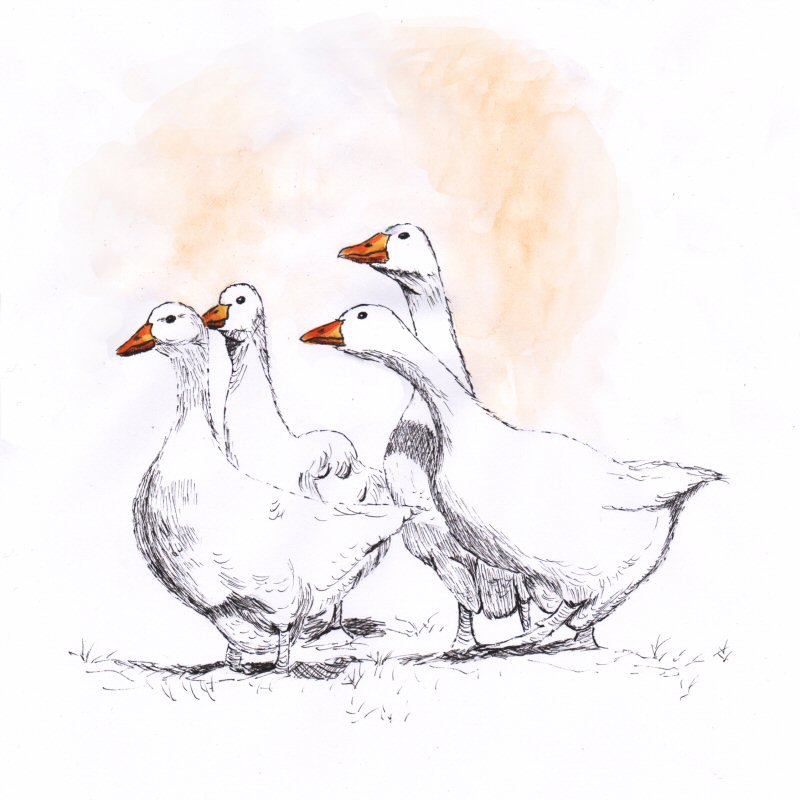 Ink drawing of 4 geese