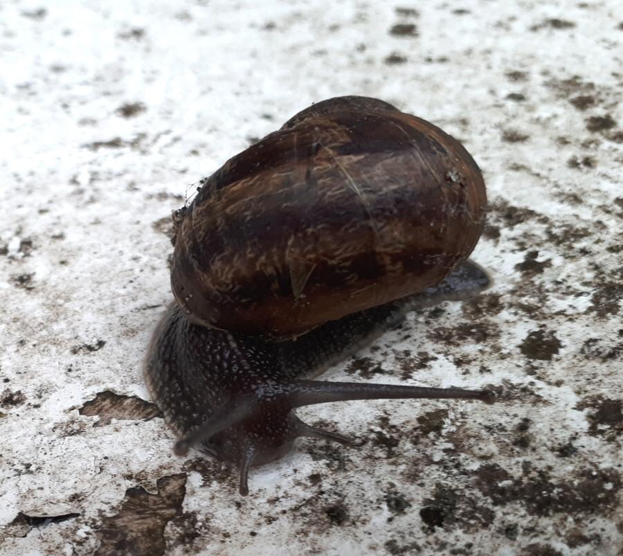 Photograph of a common garden snail in Tina's garden.