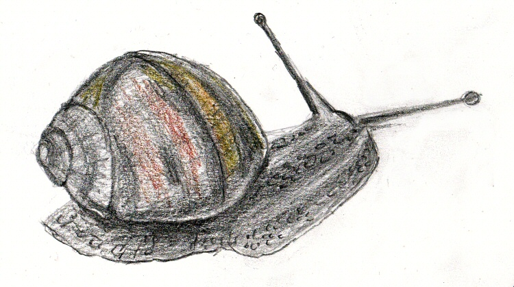 Sketch of a garden snail in graphite and coloured pencil