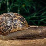 A garden snail